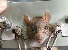 Tikus di borgol di cina